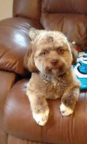 shi poo shih poo dog gains internet fame as dog with a human face