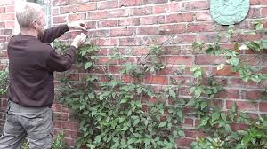 how to train clematis on wires on a wall youtube
