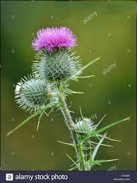 a scottish thistle an iconic plant in scotland stock photo