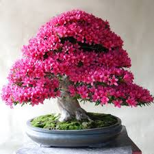 bonsai tree types resolve40 com