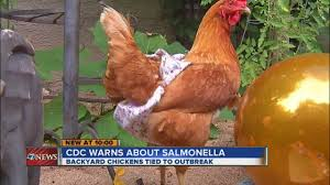 Backyard Chickens 101 by Cdc Warns About Salmonella From Backyard Chickens Youtube