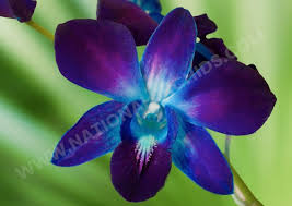 blue dendrobium orchids dendrobiums orchids national orchids inc