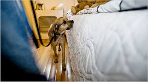 Bed Bugs New York City A New Breed Of Guard Dog Attacks Bedbugs The New York Times