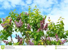 purple lilac tree stock photo image 53447746