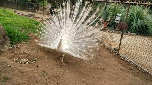 merak putih file a white peacock in wagga wagga zoo nsw jpg wikimedia commons