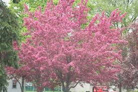 garden magnificent pink flower blossom dogwood tree