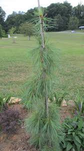 don u0027t crawl let u0027em weep white pine what grows there hugh