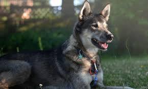 belgian sheepdog poodle mix meet murphy the siberian husky mix on pack