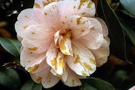 camellia flowers camellia flower blight rhs gardening