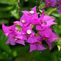 blue and purple flowers purple and blue hawaiian flowers hawaiian plants and tropical