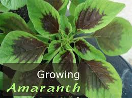 growing amaranth how to grow amaranth plant in your garden