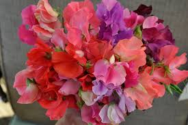 sweet peas flowers growing with plants how to grow sweet peas for cut flowers