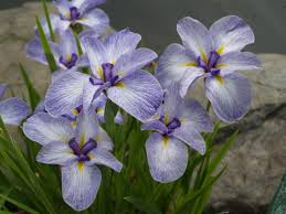 Iris Flag Azaleas And Iris Ramblin U0027 Through Dave U0027s Garden