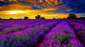 Flower Field Wallpaper - pretty flower field wallpaper 6806298
