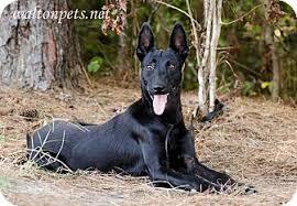 belgian sheepdog hound lennon adopted dog 20141914 monroe ga pharaoh hound