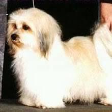 bichon frise for sale cheap havanese puppies for sale