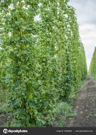 hops yard hops plants climbing of special supported strings or
