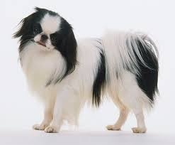 australian shepherd dogtime japanese chin dog breed information pictures characteristics