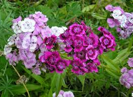 Long Blooming Annual Flowers - growing dianthus flowers in the garden u2013 how to care for dianthus