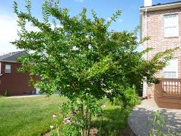 All Year Flowering Shrubs - garden of aaron help wanted best quick privacy screening shrubs