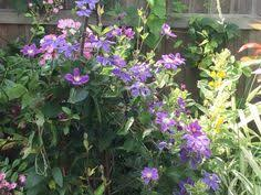 ornamental bramble my garden gardens