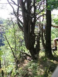 na file olszak drzewa na stoku kazalnicy 01 jpg wikimedia commons