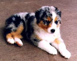 australian shepherd lab mix puppy australian shepherd lab mix wallpaper