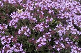 ed s favorites creeping thyme