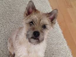 brindle cairn haircut 25 best cairn terrier images on pinterest cairn terrier doggies