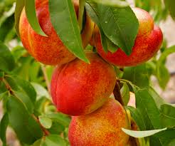 fruit trees for sale fast growing trees