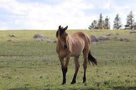mustang adoption pryor mountain horses up for adoption through the blm
