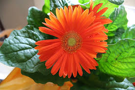 gerbera daisies gerbera gerbera jamesonii 15 houseplants for improving