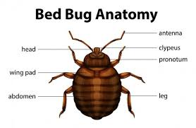 Bed Bugs In Ohio Study Some Bed Bugs 1000x More Resistant To Common Pesticides