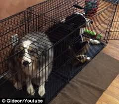 australian shepherd youtube herding australian shepherds send themselves to the dog house daily mail