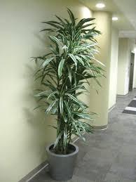 floor plant online plant guide dracaena deremensis u0027warneckii u0027 white