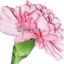 bulk carnations bulk flowers light pink carnations
