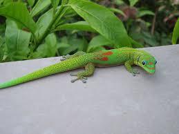 Big Lizard In My Backyard Lyrics S1 Gecko Jpg