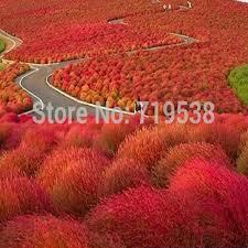 aliexpress buy grass seeds perennial 100 seeds grass burning