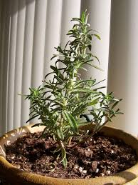 growing rosemary indoors tips for care of rosemary plants inside