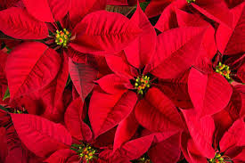 why are poinsettias associated with christmas mental floss
