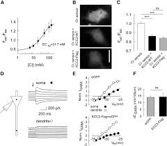 Blue And White Flag With Red C Activity Dependent Regulation Of The K Cl Transporter Kcc2