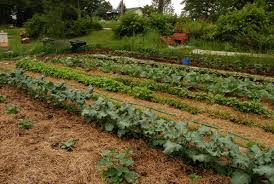 why should i mulch my vegetable garden daily monitor