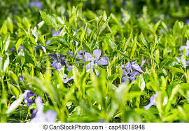 vinca flowers vinca flowers growing in the forest stock photo search