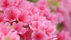 pink flower pink flower