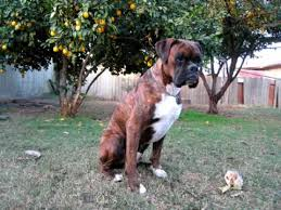 boxer dog youtube brindle boxers youtube