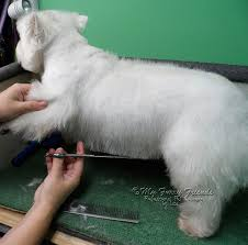 images of westie hair cuts 55 best westie haircuts images on pinterest doggies westies and