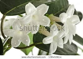 Stephanotis Flower Stock Images Similar To Id 98516693 Stephanotis Flower Closeup