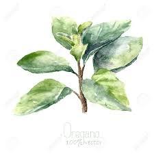 origan en cuisine origan aquarelle dessiner origan illustration objet herbes de