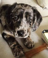c c australian shepherds louisiana best 25 leopard dog ideas on pinterest beagle puppies pointer