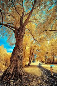 gorgeous infrared landscapes with trees of gold and silver the
